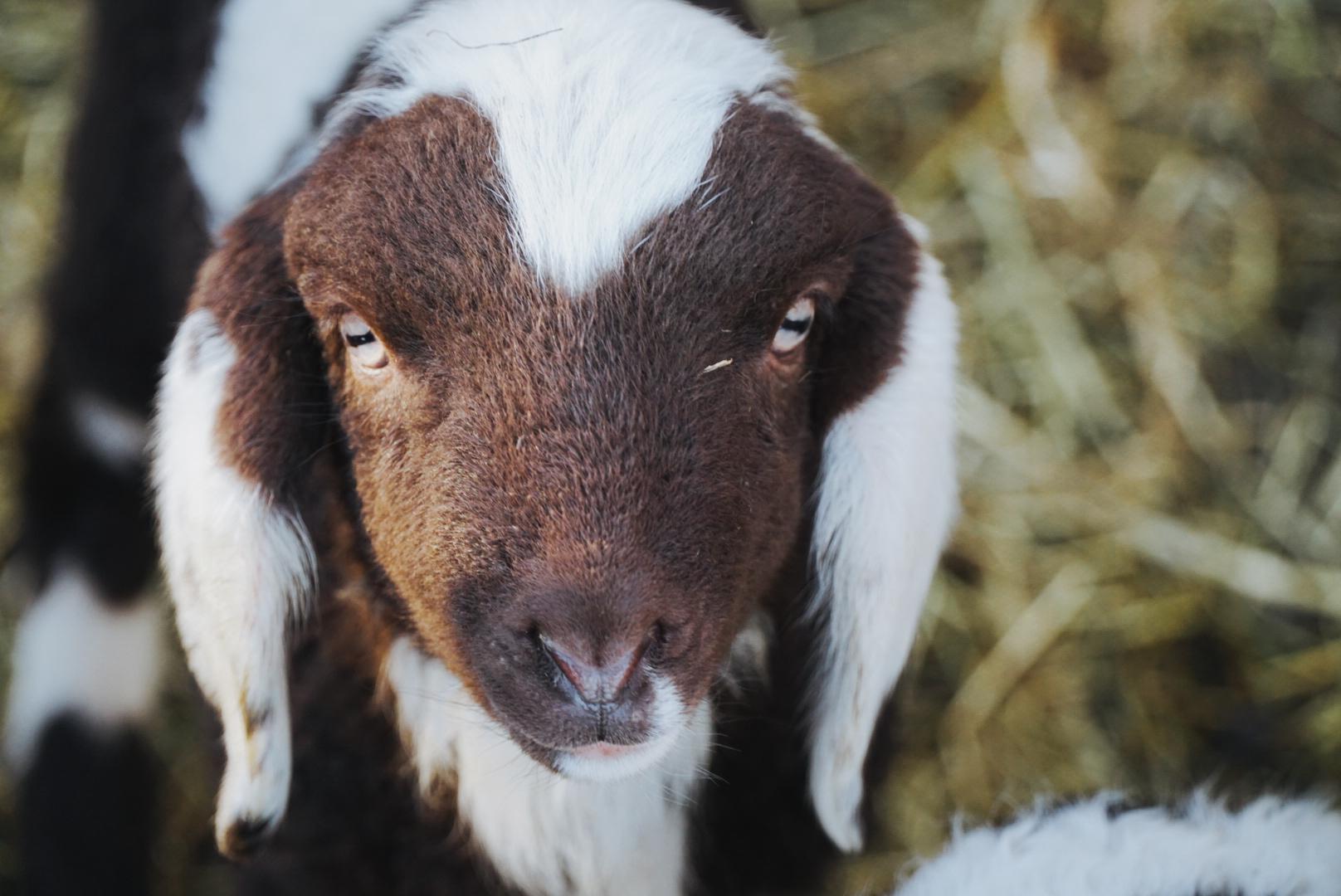 Schaf zeigt landwirtschaftliches Hofleben