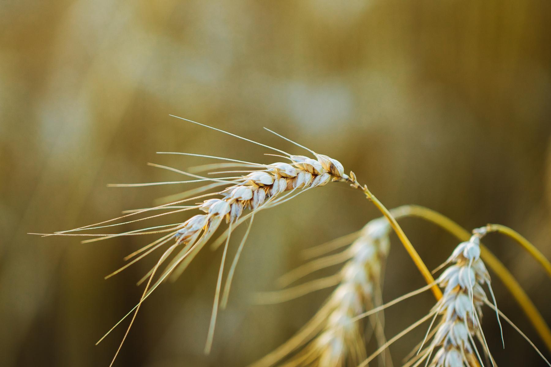 Weizen von der Hofmanufaktur zum Huttenberg