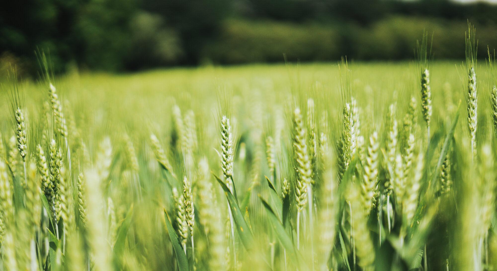 Landwirtschaft Weizenanbau Huttenberg